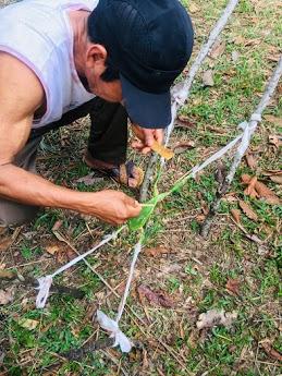 კამბოს შეგროვება, სეკრეციას ბაყაყის კანის ზედაპირიდან აგროვებენ და ხის ფირფიტაზე აშრობენ